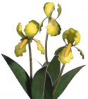 Flower Kit Iris Yellow
