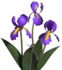 Flower Kit Iris Purple