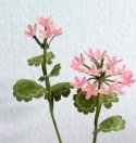 Flower Kit Geranium Pink